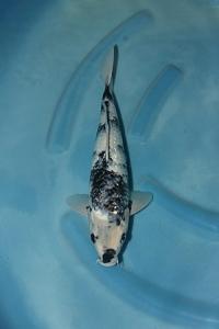 0903-Jimmy nugroho-surabaya-pasukan bawah air-tulungagung-kinginrin-40-M