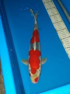 0804-Dicky prasetya-blitar-jhesen-tulungagung-gosiki-35cm-male
